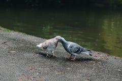 Pigeon kissing stock photos