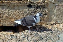Pigeon. Kolossi Castle Stock Photo