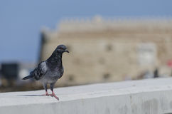 Pigeon at Koules fortress Royalty Free Stock Photos