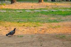 Pigeon l'oiseau qui avait l'habitude de communiquer dans le pass? photo stock