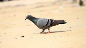 Pigeon ? la plage photos libres de droits