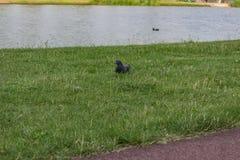 Pigeon at a lake Stock Image