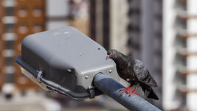 Pigeon on Lamppost Royalty Free Stock Photo