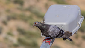 Pigeon on Lamppost Royalty Free Stock Photos