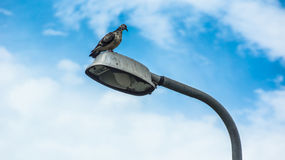 Pigeon on the lamppost. The pigeon on the lamppost in front of the sky Royalty Free Stock Image