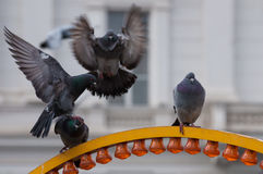 Pigeon landing on another pigeon's head Stock Photos