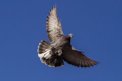 Pigeon landing Royalty Free Stock Image