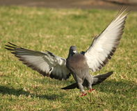Pigeon landing on grass. Pigeon landing, with wings spread Stock Photography