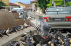 Pigeon is landing on the ground Stock Photo