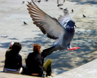 Pigeon landing - some noise visible. An urban London pigeon coming in to land Stock Photo