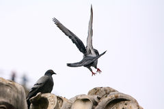 Pigeon lands on the statue from the back Royalty Free Stock Photo