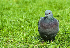 Pigeon lawn. Common grey urban pigeon closeup on a lawn with green fresh grass Stock Photo