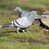 Pigeon on lawn in the park Royalty Free Stock Images