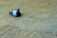 Pigeon laying on tar with a serious look royalty free stock images