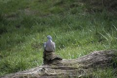 Pigeon Le grand genre d'oiseau Columba comporte photos stock