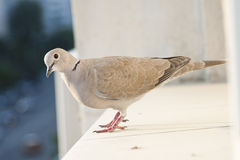 Pigeon on a ledge Royalty Free Stock Photography
