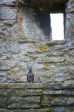 Pigeon on ledge. Grey pigeon sitting on a medieval castle wall ledge with a small arrow loop or window in the wall. Visby city wall, Sweden royalty free stock images