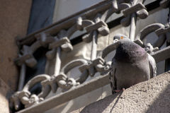 Pigeon on the ledge Royalty Free Stock Images