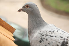 Pigeon 1 Royalty Free Stock Image