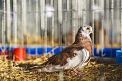 Pigeon locked in a cage. Royalty Free Stock Image