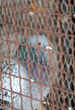 Pigeon locked in a cage Stock Photography