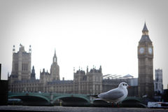 Pigeon in London. English pigeon with London background: Big Ben and Westminster Palace Royalty Free Stock Images