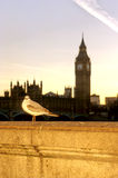 Pigeon- London. Pigeon sitting on bridge over River Thames w/ Parliament in the background- London, England Stock Images