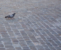 Pigeon. Lone pigeon walking over the cobblestones stock images