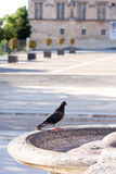 Pigeon. Lonly pigeon on the border of fountain Royalty Free Stock Image