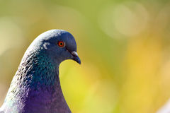 Pigeon looked curiously Royalty Free Stock Photo