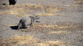 Pigeon looking for food. In the dry grass stock video