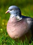 Pigeon in denmark royalty free stock image