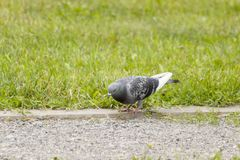 Pigeon looking for food Royalty Free Stock Photo