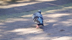 Pigeon looking for food among the plates on the square. Slow motion . High speed camera stock footage