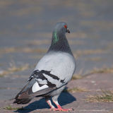 Pigeon looking to the right Stock Photography