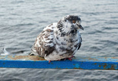 A pigeon looks at a sea Royalty Free Stock Photo