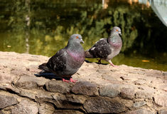 Pigeon love. The love between a pigeon and a dove. Care and attention in the warm rays of the summer sun Royalty Free Stock Images