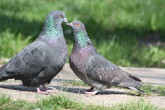 Pigeon, Love Story Images stock