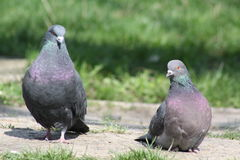 Pigeon, Love Story Photographie stock libre de droits