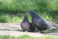 Pigeon, Love Story Stock Photos