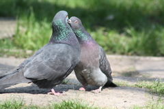 Pigeon, Love Story. Kiss of Pigeons, life is incredible and wonderful Royalty Free Stock Photo
