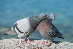 Pigeon courtship. Two pigeons on coast in romantic mode, male pigeon and a female pigeon engaged in courtship Royalty Free Stock Photography