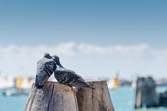 Pigeon love. Two pigeons kissing on a wooden pillar, taken in Venice Stock Image
