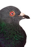 Pigeon - Macro Portrait. Isolated in pure white Stock Image