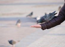 Pigeon mangeant de la main Image stock