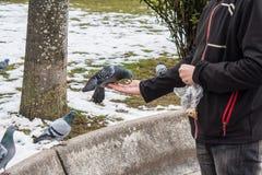 Pigeon mangeant de la main d'un jeune homme Photo libre de droits