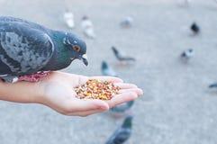 Pigeon mangeant de la main de femme sur le parc Photos stock