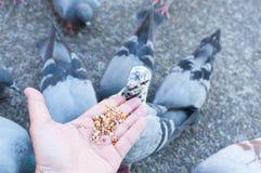 Pigeon mangeant de la main de femme sur le parc Image stock