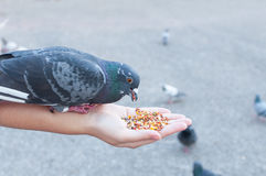 Pigeon mangeant de la main de femme sur le parc Images stock