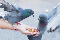 Pigeon mangeant de la main de femme sur le parc Photos libres de droits